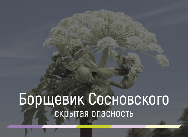 Чем опасен борщевик Сосновского и как с ним бороться