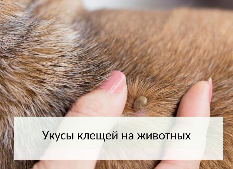 укусы клещей на животных
